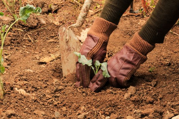 Succession planting in soil with small fruit and veggie plants