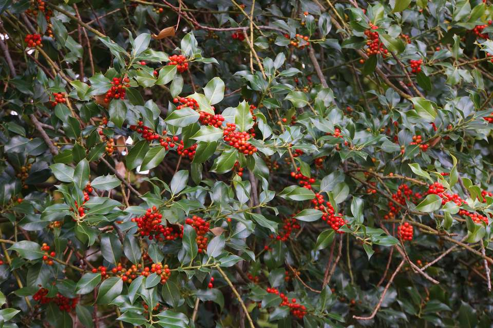 English holly tree with bright red berries and deep green leaves