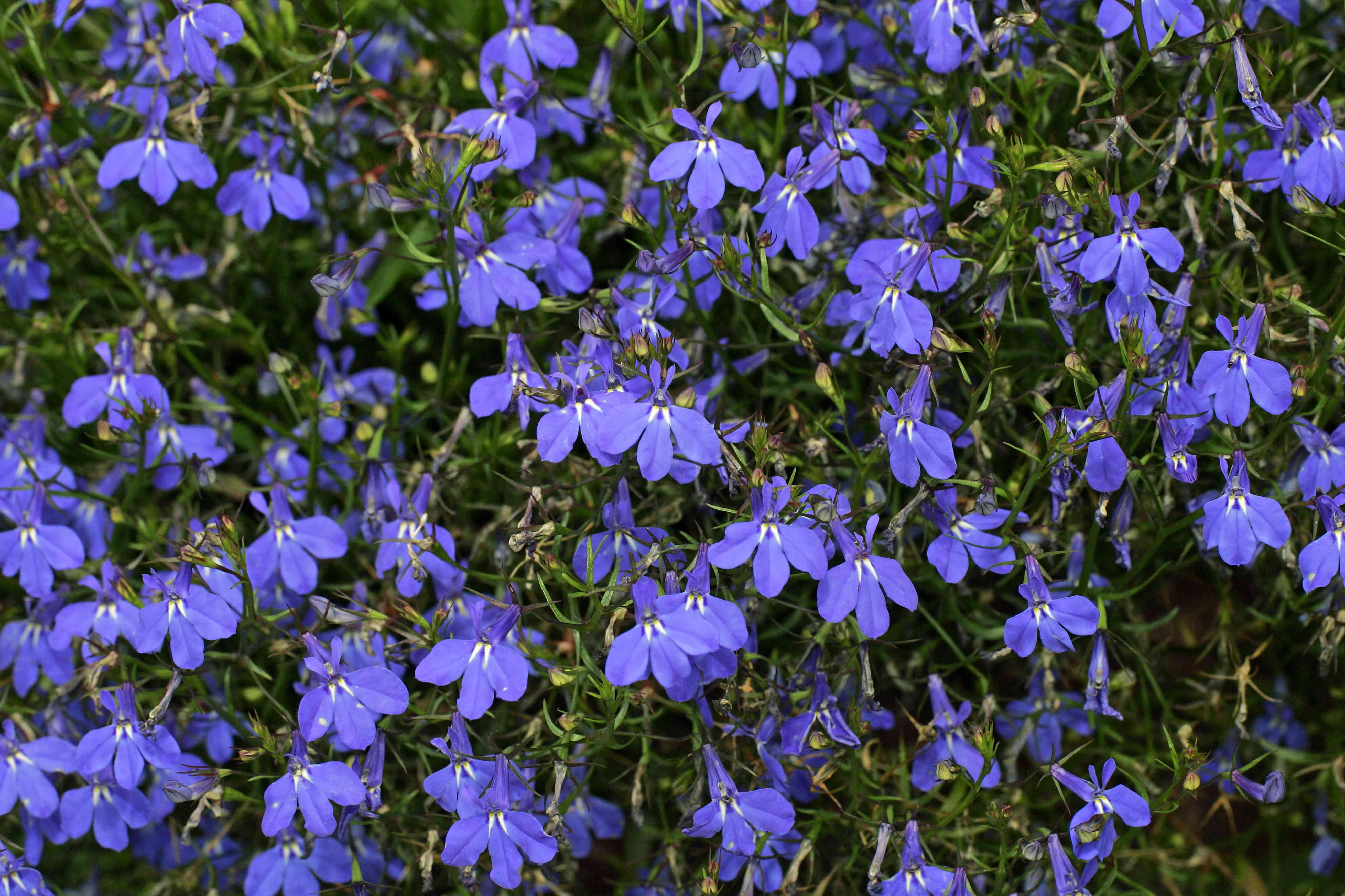 flowering hanging lobelia (Lobelia erinus cultivar Richardii) (Lobelia Richardii)