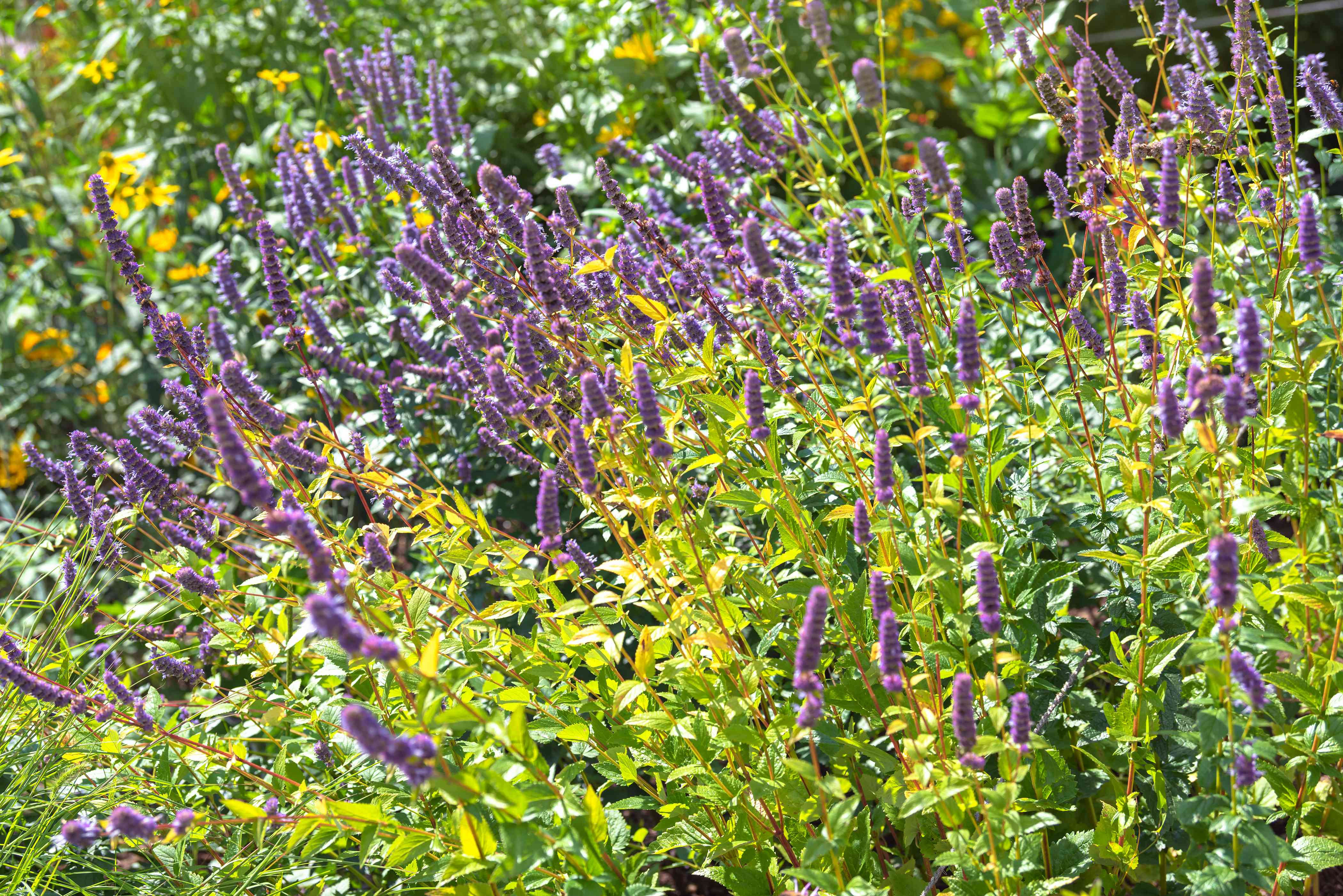 Anise hyssop with purple flower spikes on thin stems surrounded by yellow-green leaves in cunlight