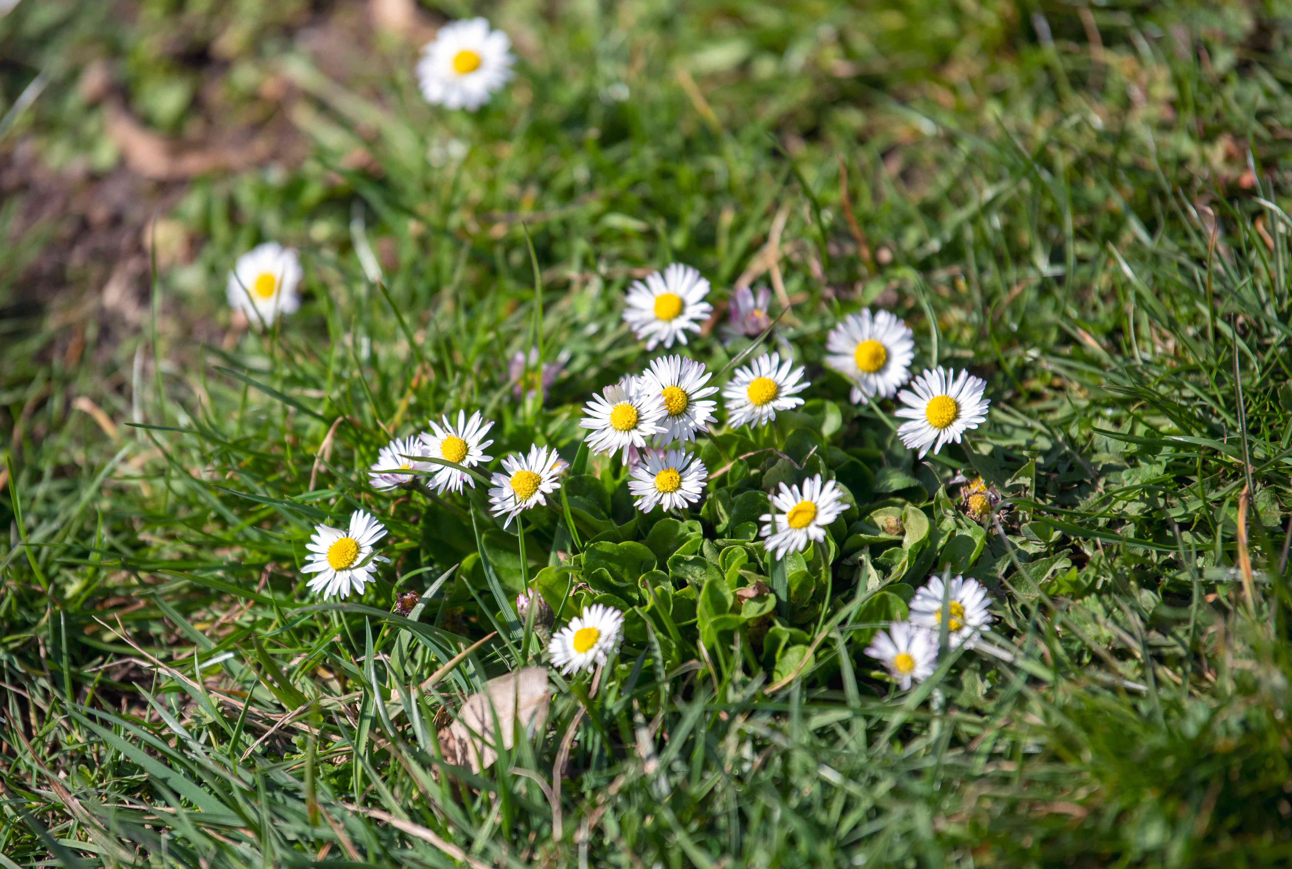 English daisy flowers clustered in grass under sunlight