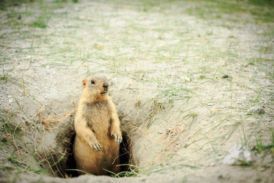 Marmot at hole home.