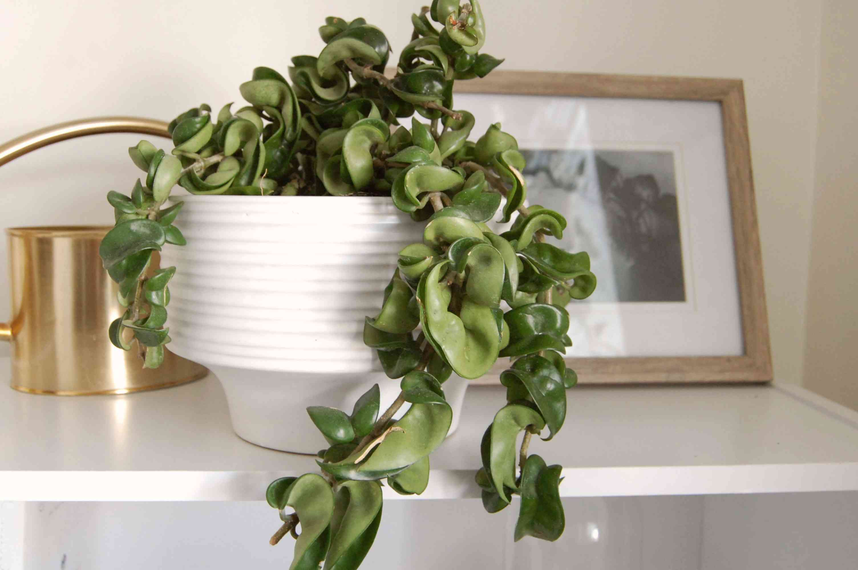 Hindu rope plant with waxy and vine-like leaves hanging over white pot on shelf next to picture frame and gold watering can