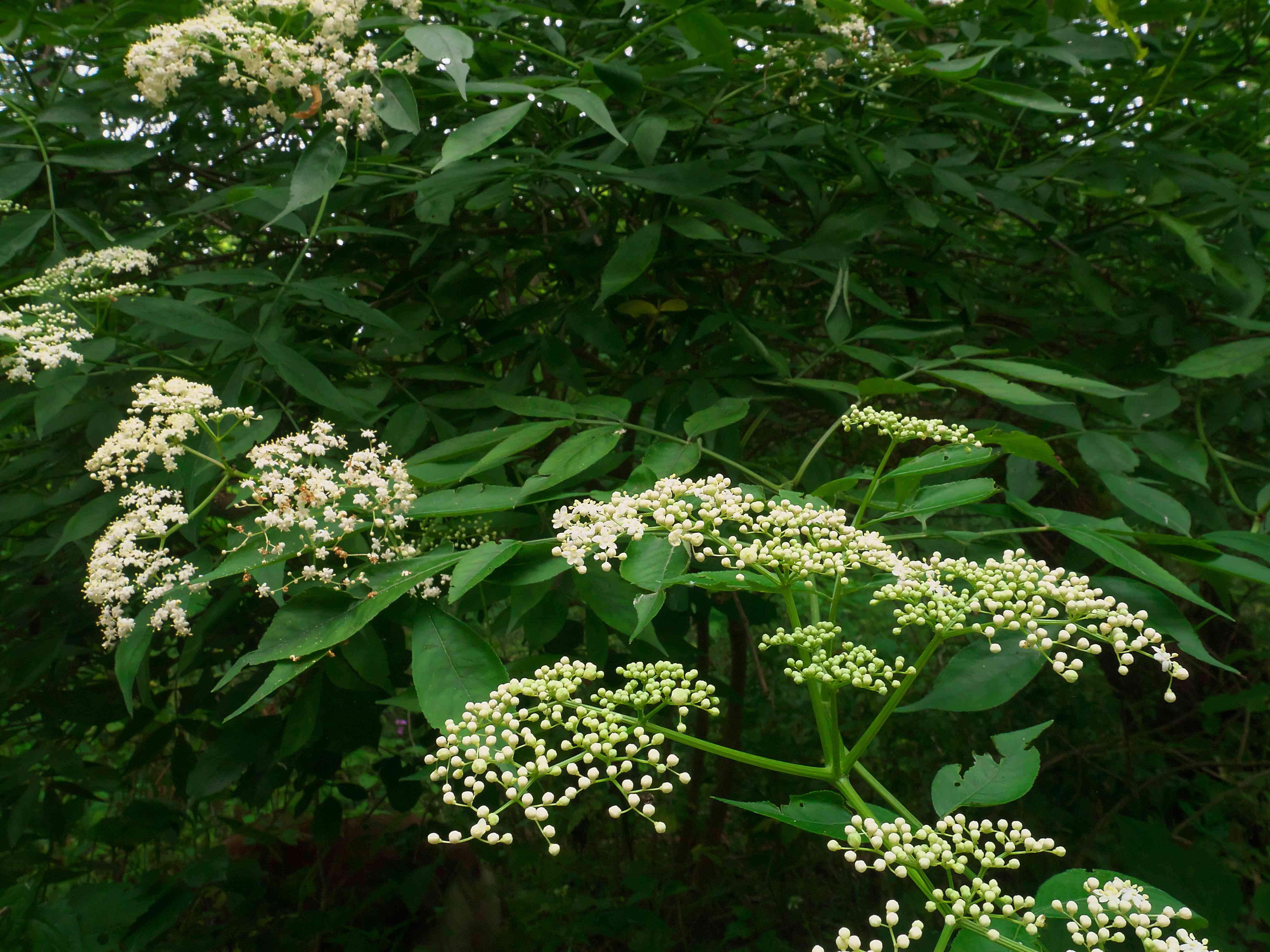 American Elderberry Shrub