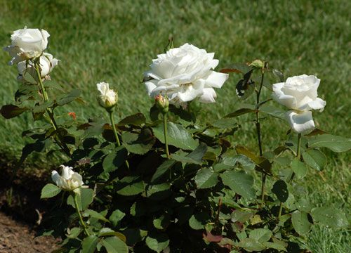 Types of roses pictures presenting a variety of colors picture of white roses mightylinksfo