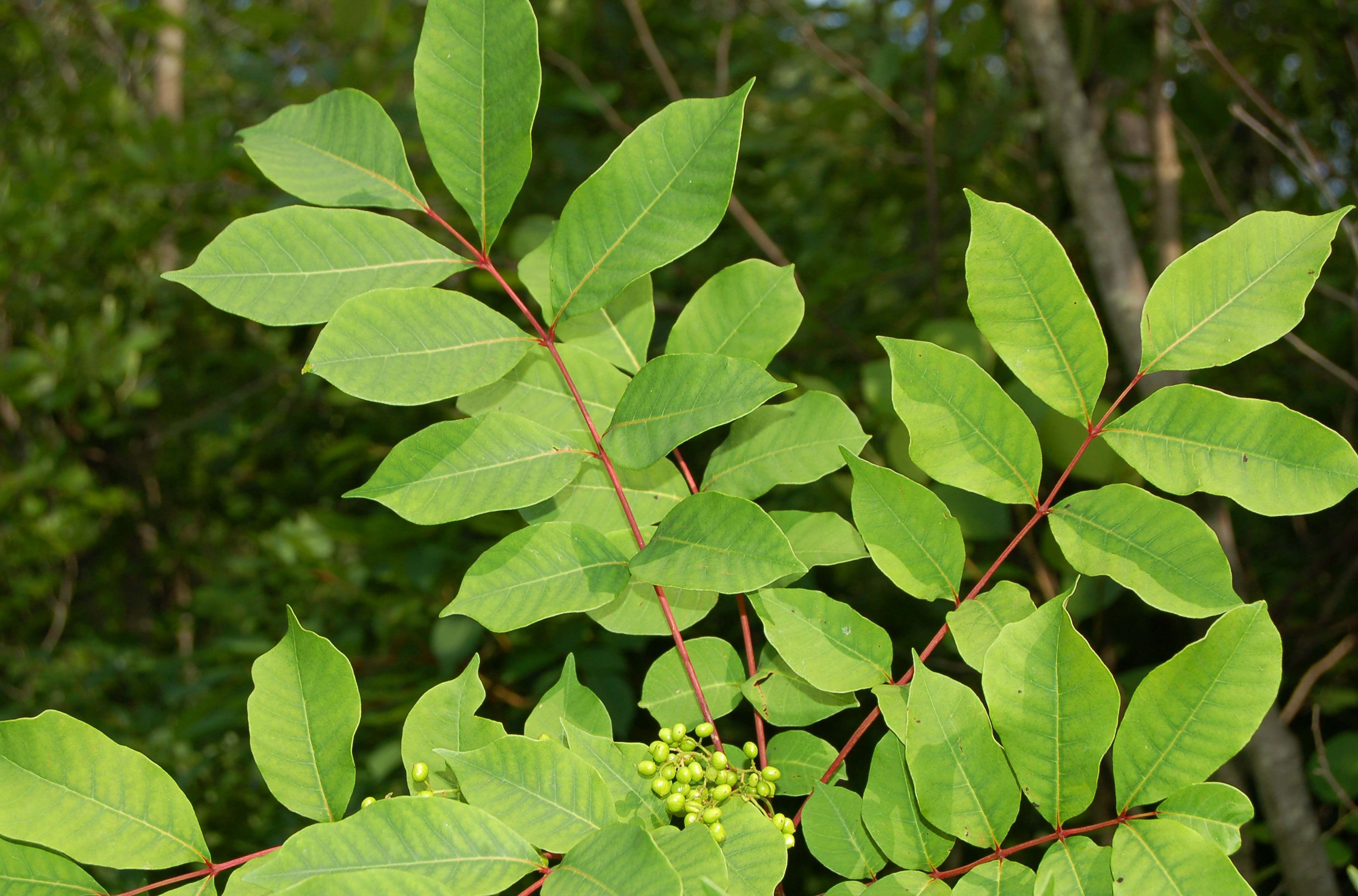 Pinnately-compound leaves of poison sumac.