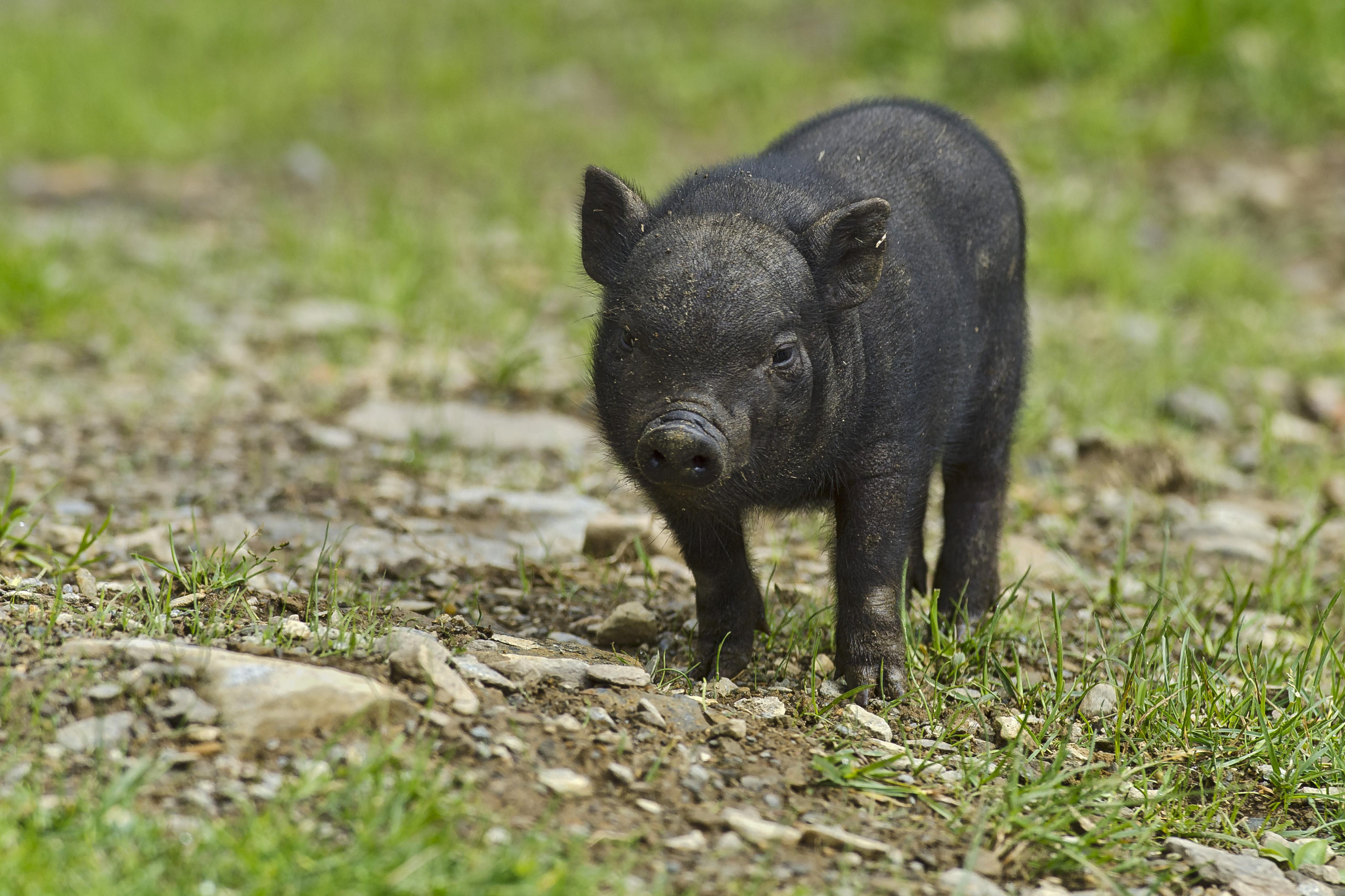 What Do Pot Bellied Pigs Eat