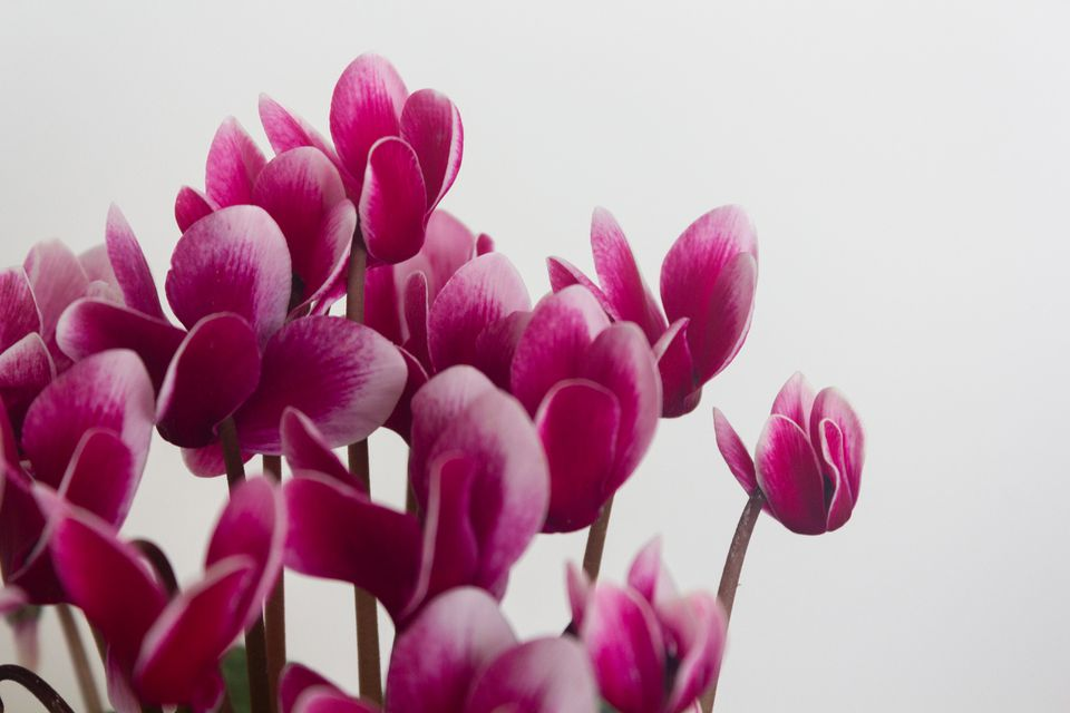 fuchsia-colored cyclamen