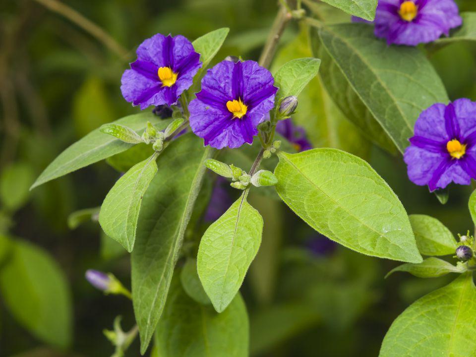 Blue potato bush, Lycianthes rantonnetii, flowers macro, selective focus