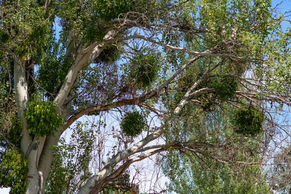 Mistletoe plants hanging from tree branches in ball-shape forms