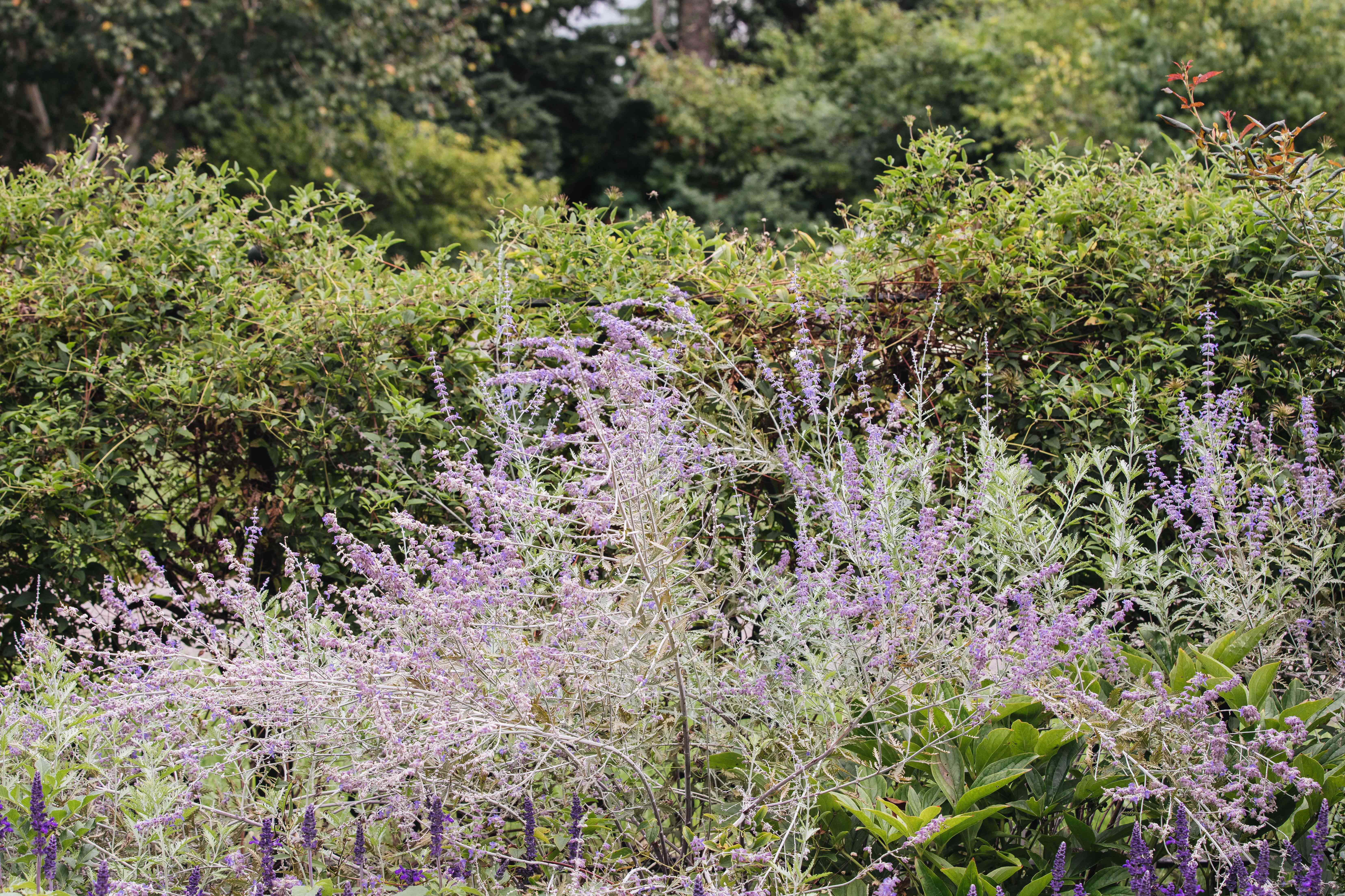 Russian sage plant with thin wispy branches with small purple blooms