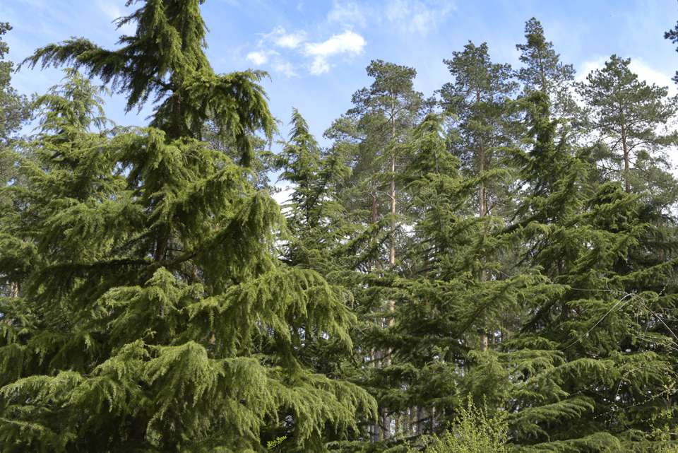 Deodar cypress tress with weeping branches in front of forest