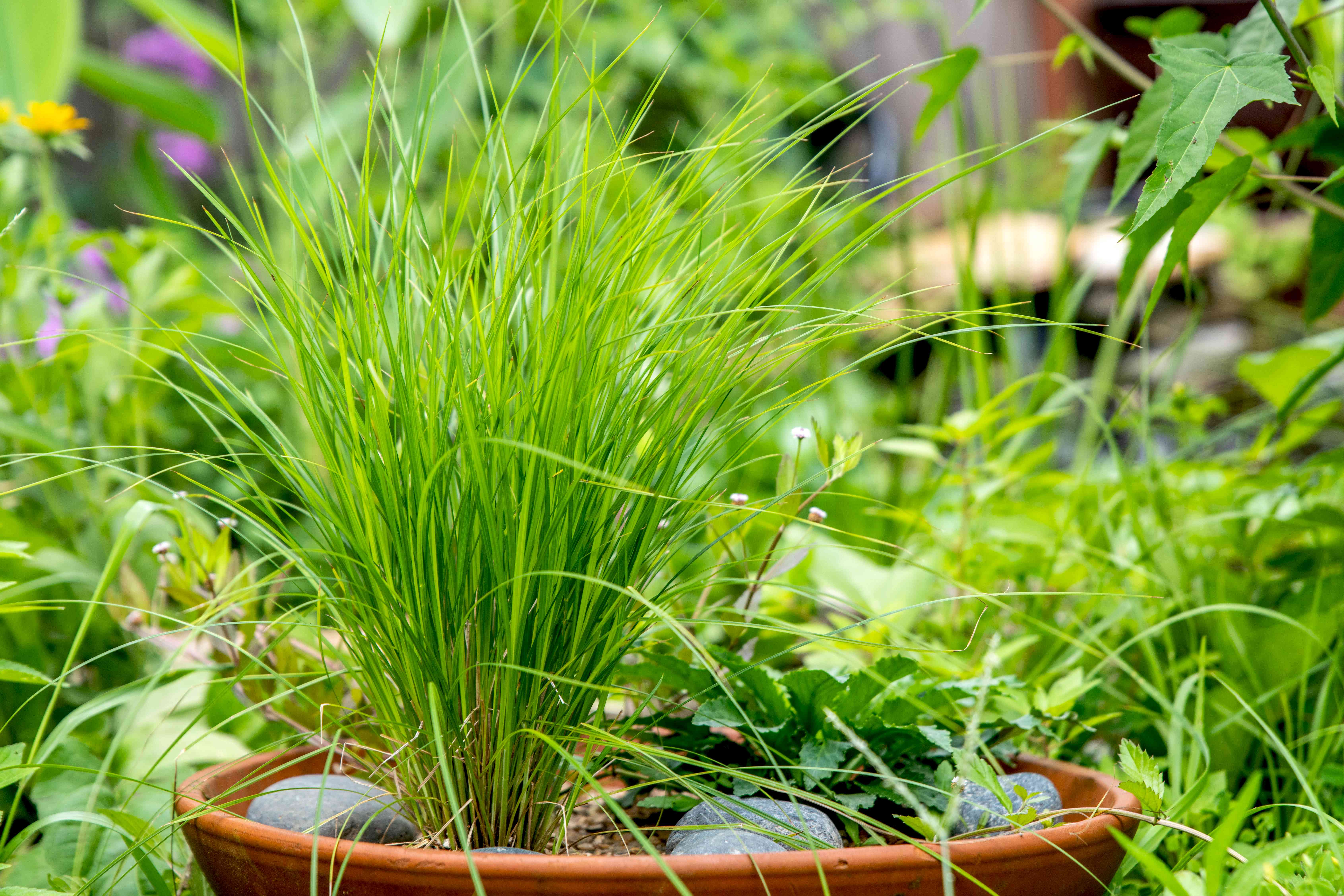 Tussock sedge plant with thin grass-like leaves clumped together in orange pot with gray pebbles