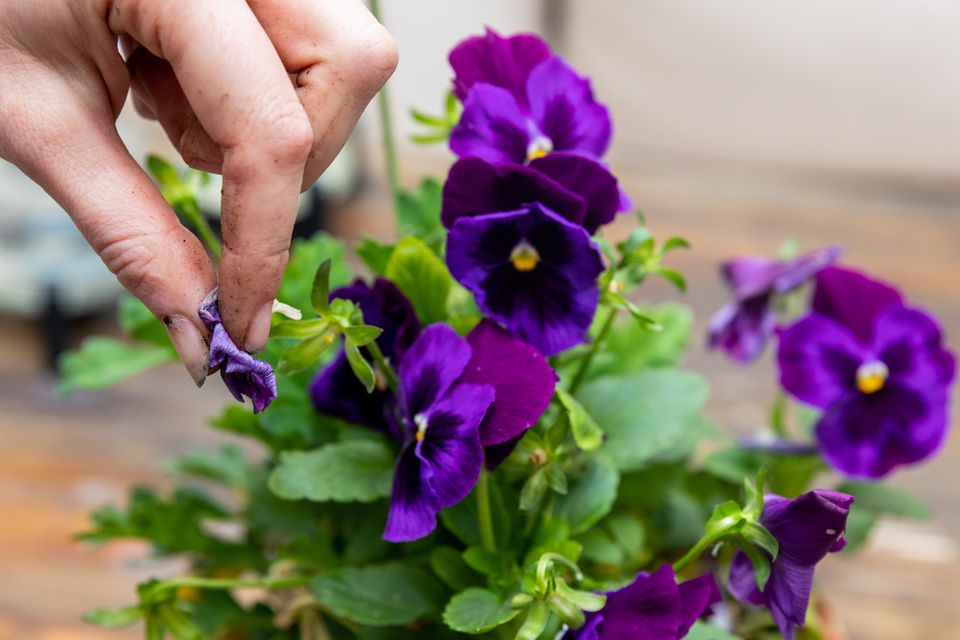 Purple annual flowers blooming and pinching old flowers closeup
