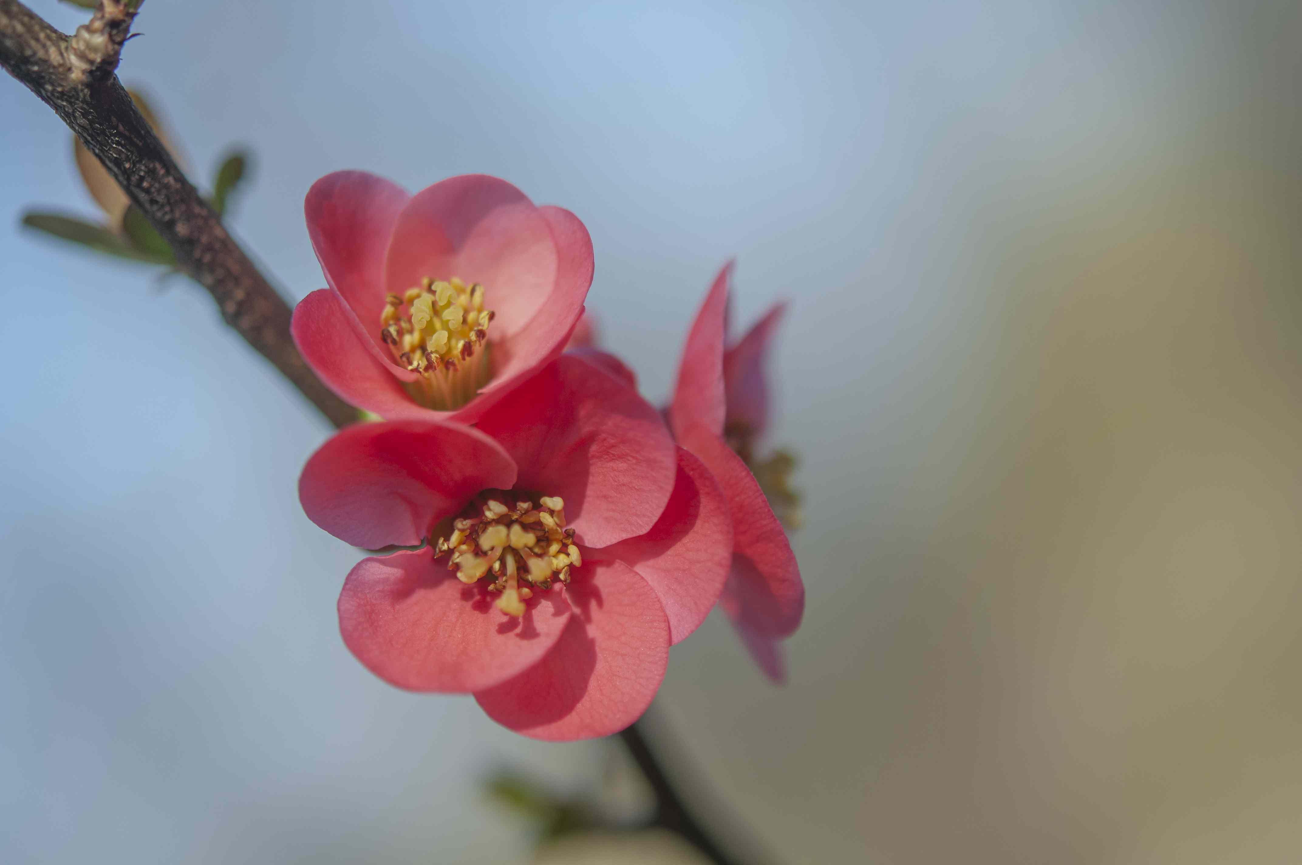 closeup of flowering quince