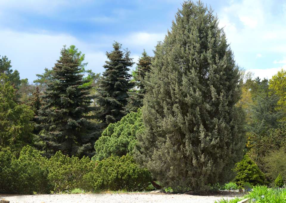 Arizona cypress tree with a cone shape in front of other trees