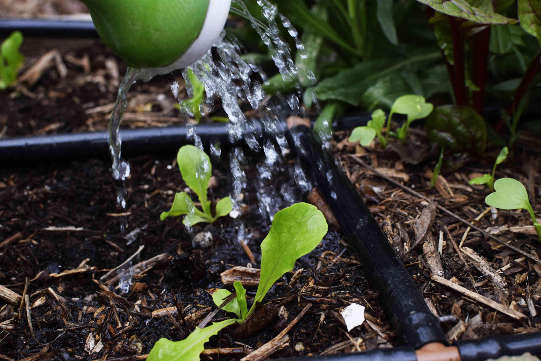 watering the remaining seedlings