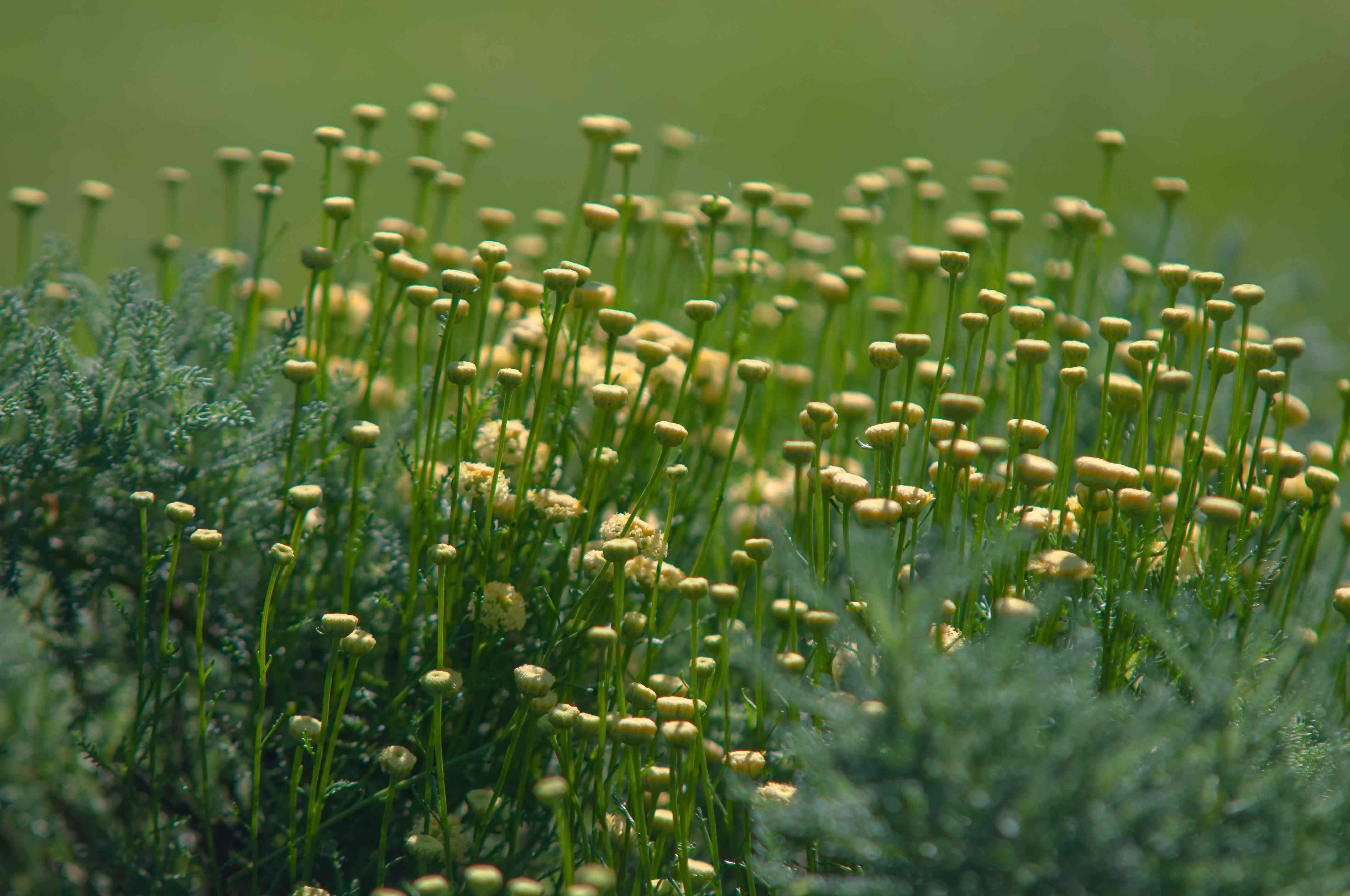 Lavender cotton plant with small yellow flowers on thin wiry stems in garden