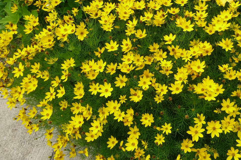 Perennial flowers that bloom all summer moonbeam coreopsis mightylinksfo