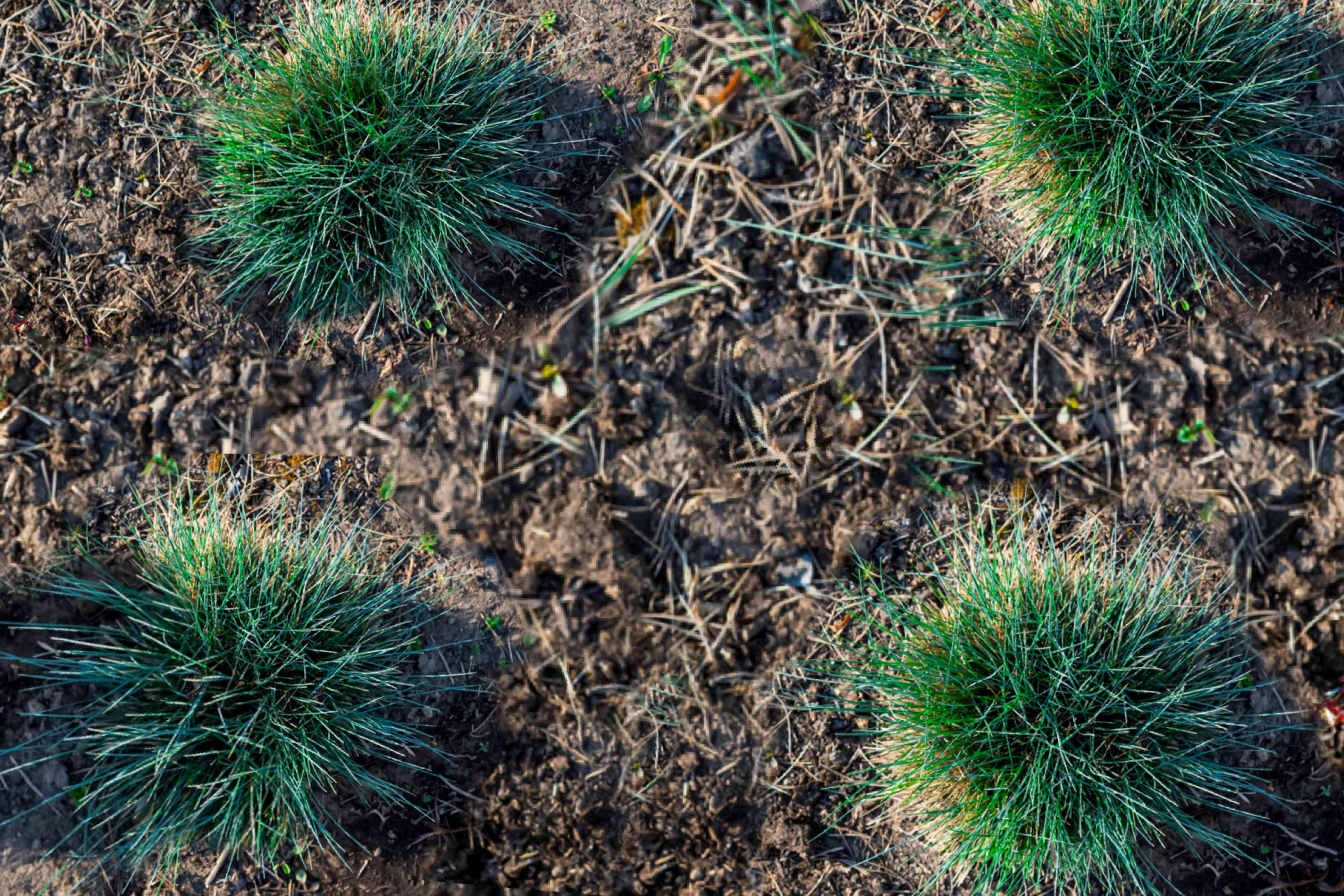 spacing out blue fescue grass transplants