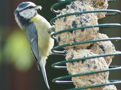 What Types of Suet Are Best for Your Backyard Birds? - Suet Feeder Tips For Backyard Birding