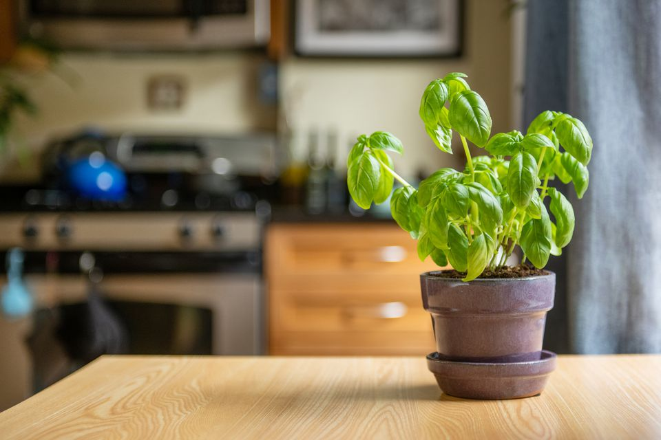 basil plant in the kitchen