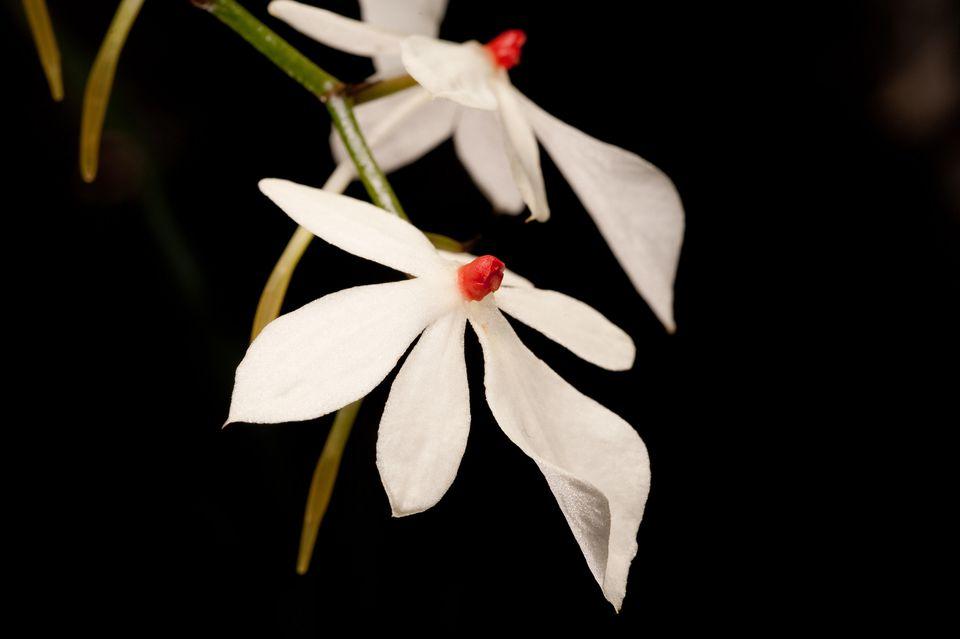 This Aerangis rhodosticta specimen has creamy-white petals.