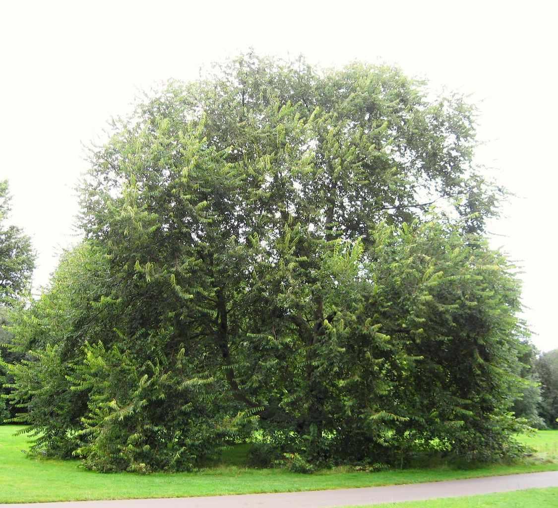 Cherry-bark elm with green foliage