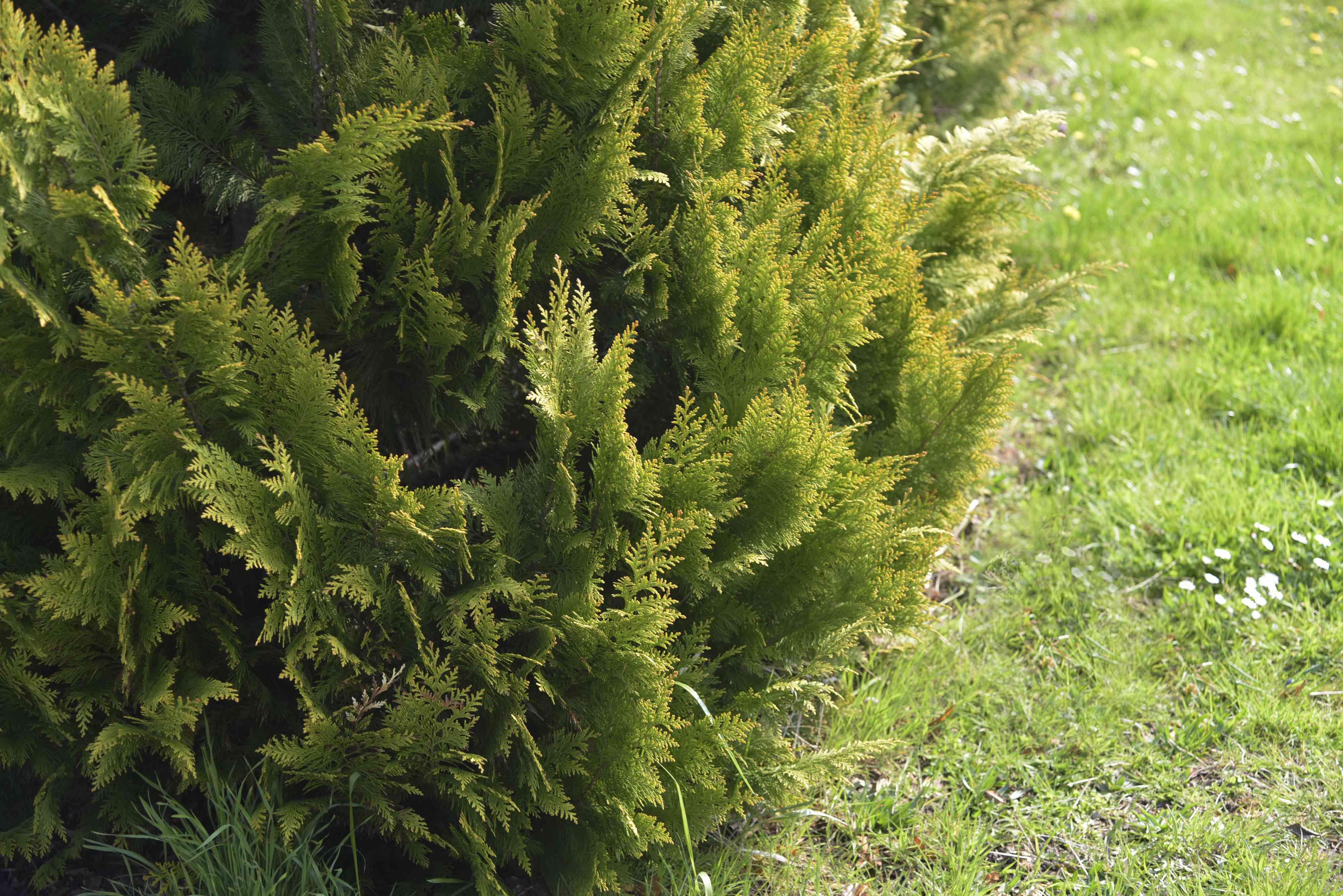 False cypress chamaecyparis lawsoniana tree with flat and feathery foliage on edge of grass lawn