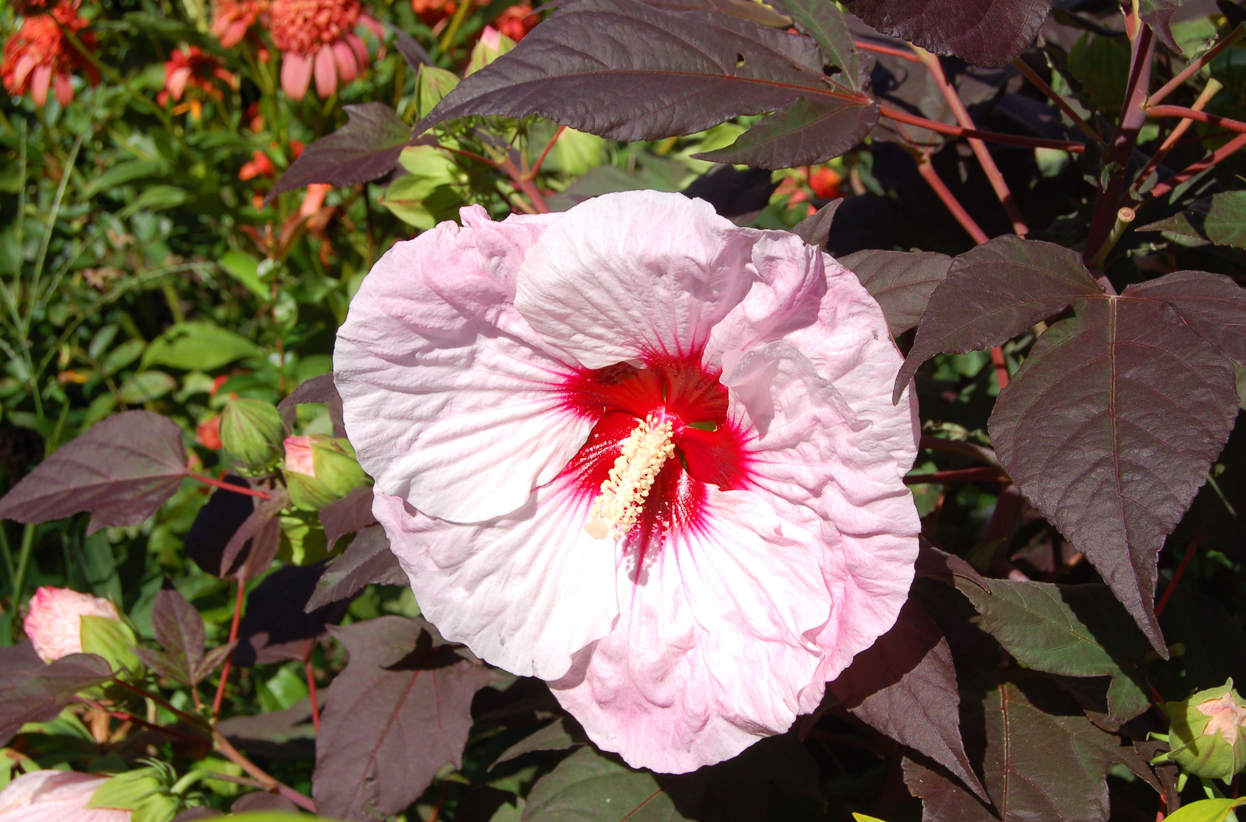 The large bloom and dark-colored leaves of Summerific Perfect Storm hardy hibiscus.