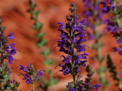 May Night A Superstar In The Salvia World
