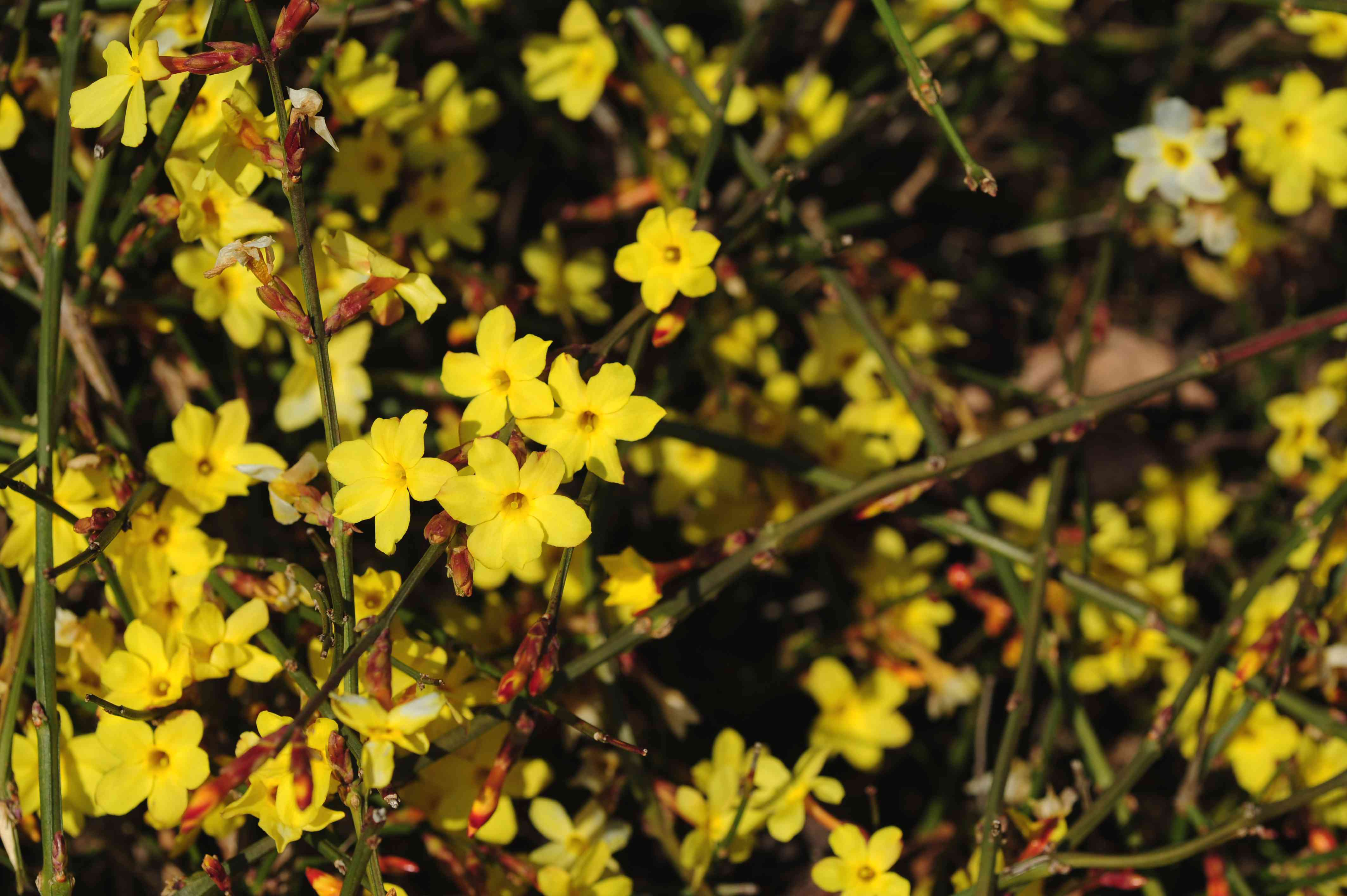Winter jasmine vines with yellow flowers and buds