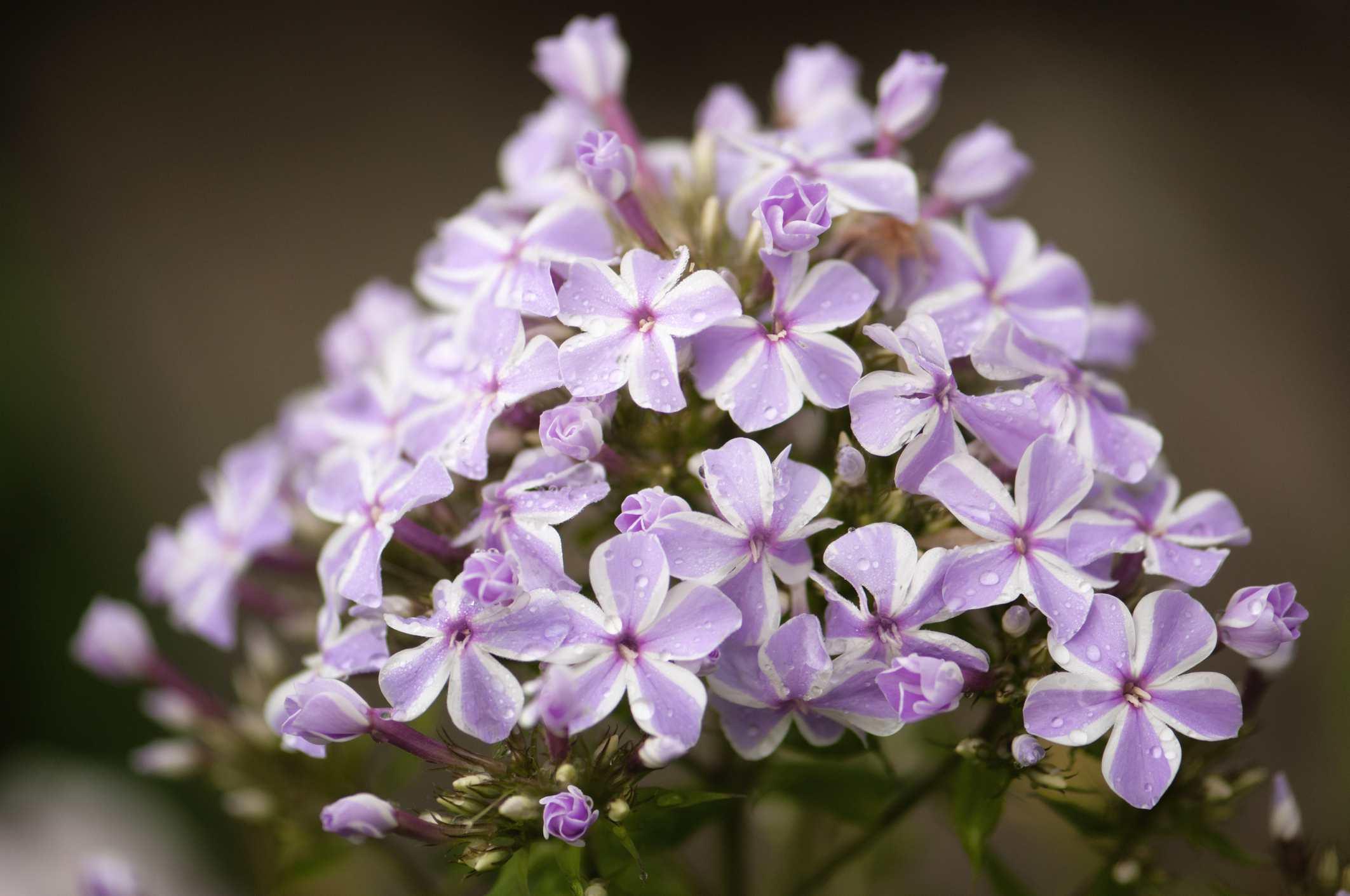 Closeup of flower head of 'Natascha' tall garden phlox.