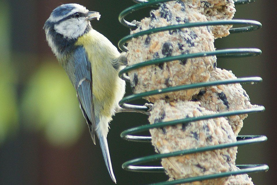 Blue Tit on Suet Balls