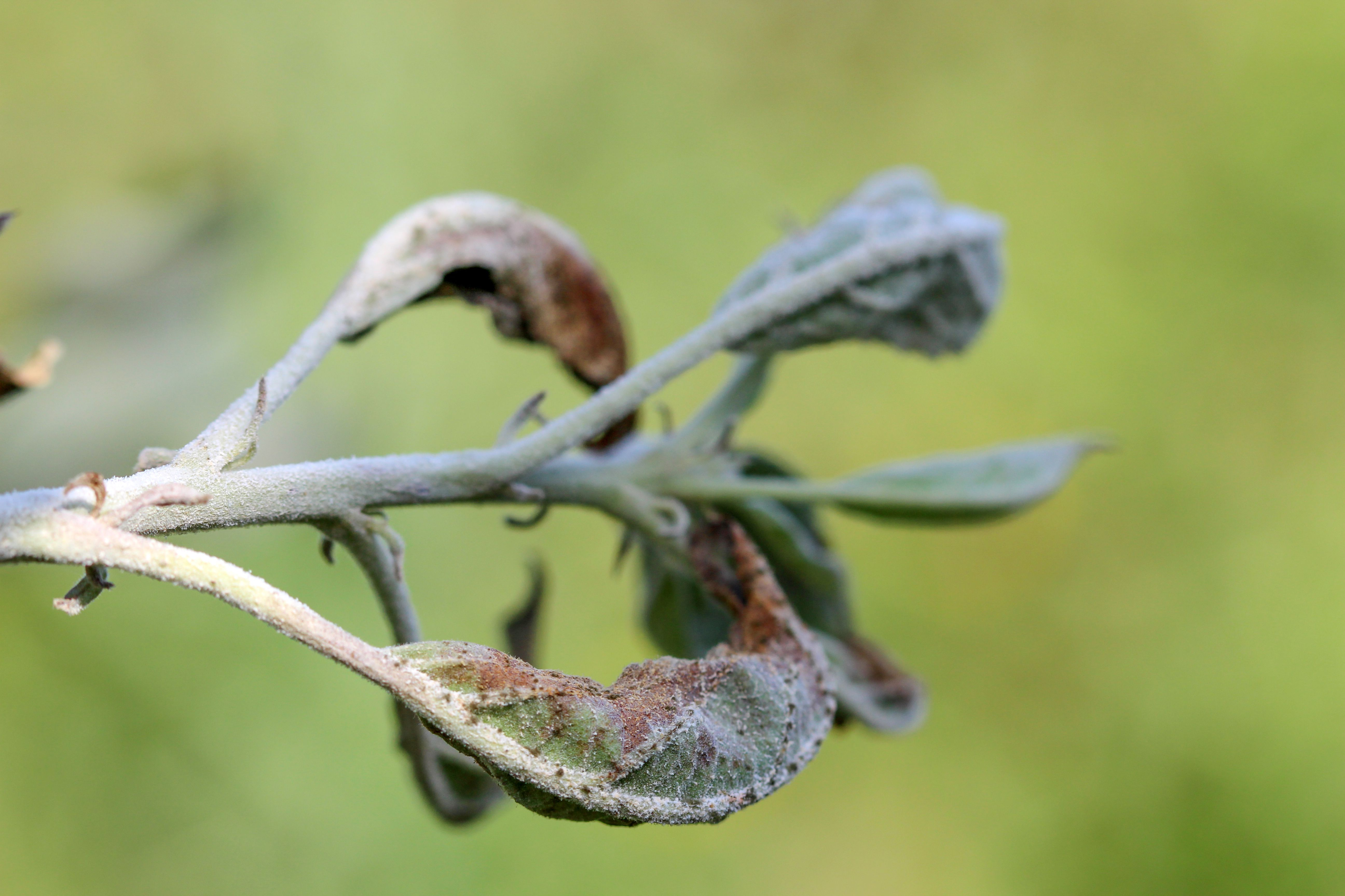 apple leaves infected and damaged by fungus disease powdery mildew