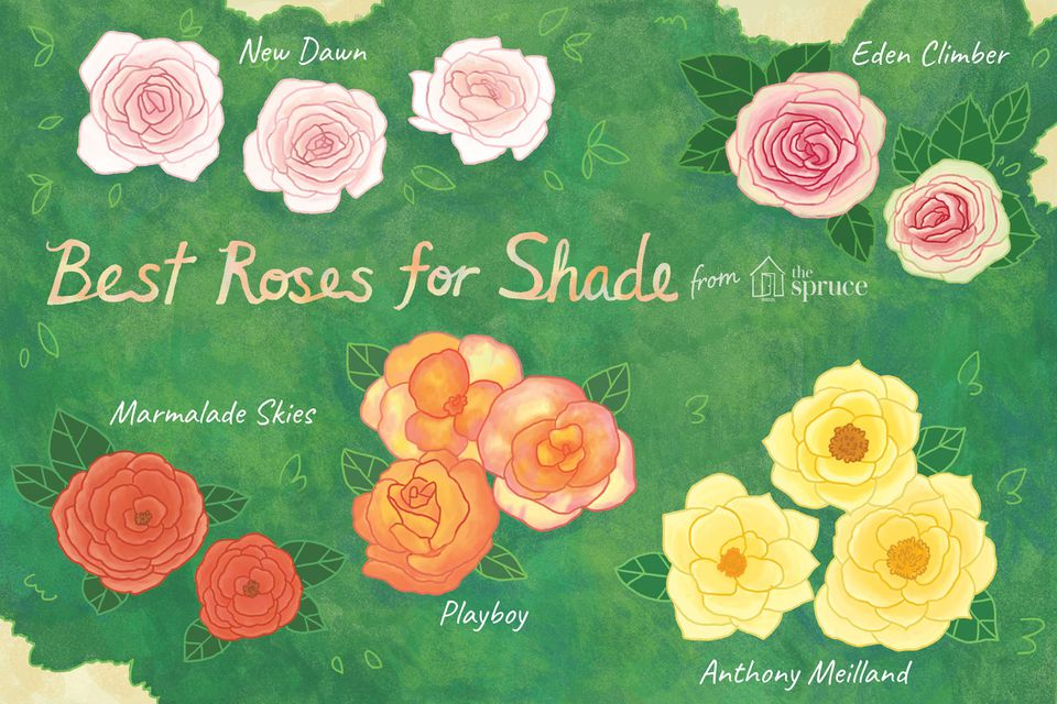 illustration of best roses for shade