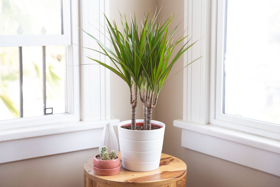 dracaena marginata on a side table