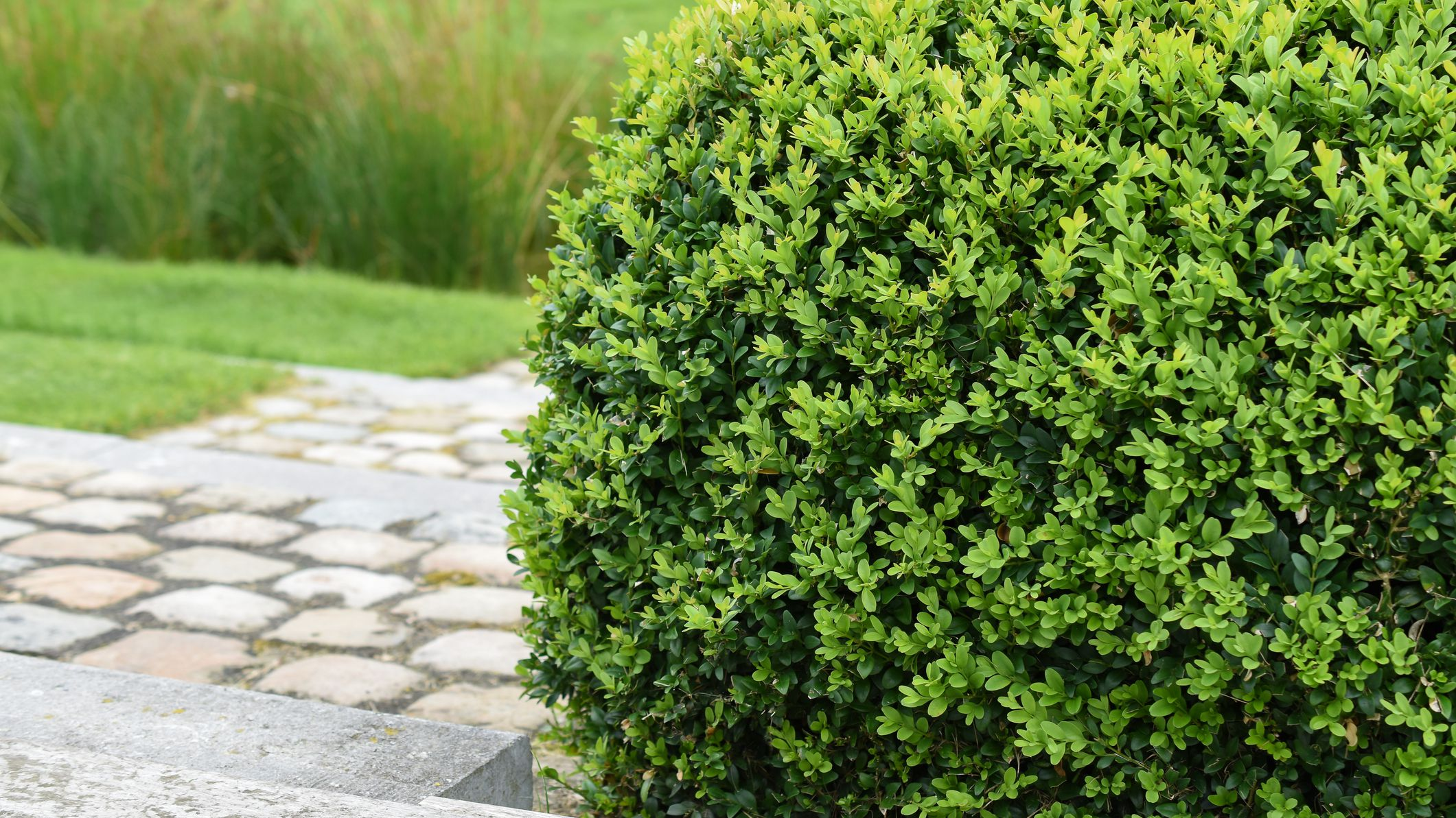10 Deer Repellent Shrubs For Landscaping