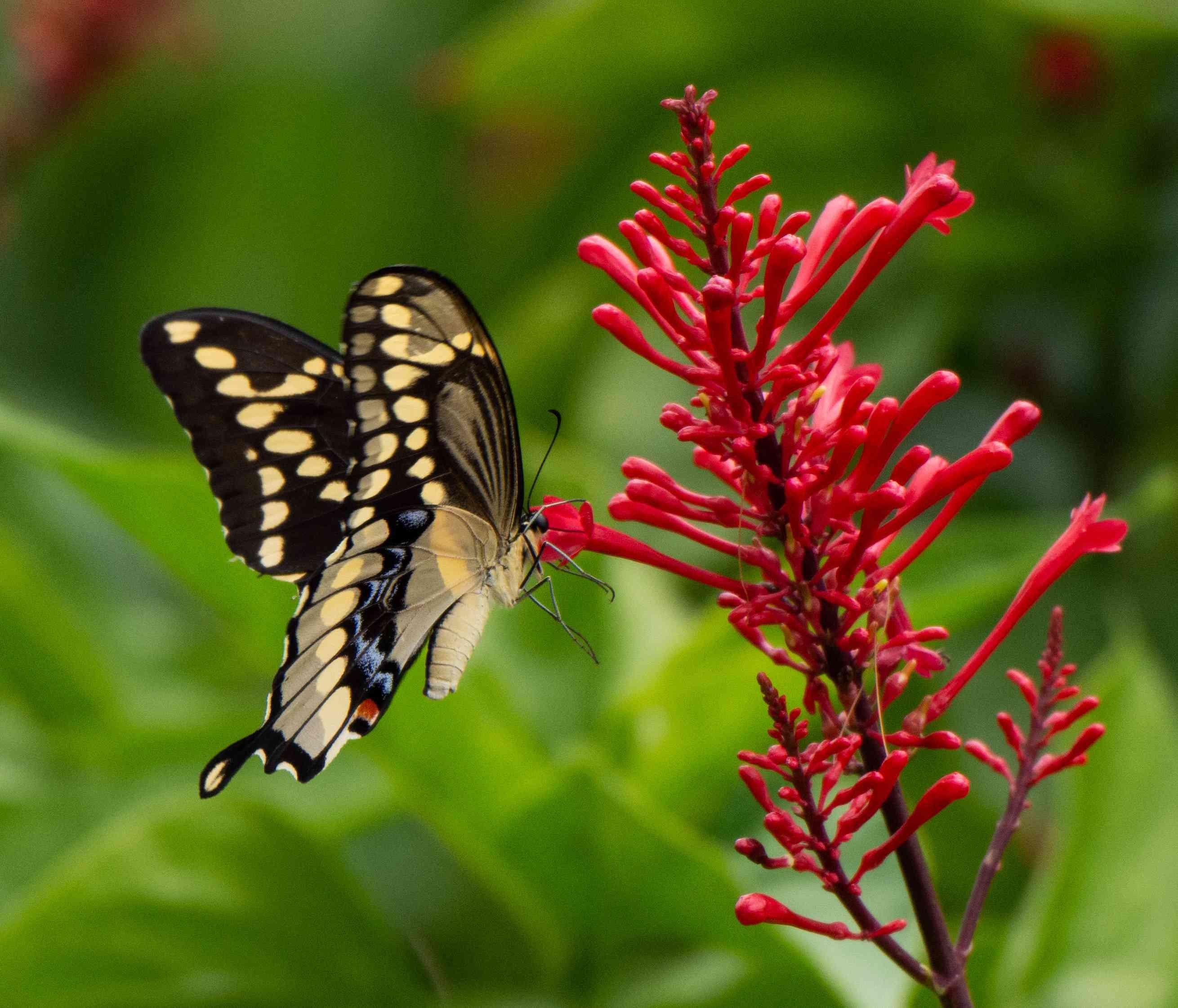 Firespike flower attracts butterflies