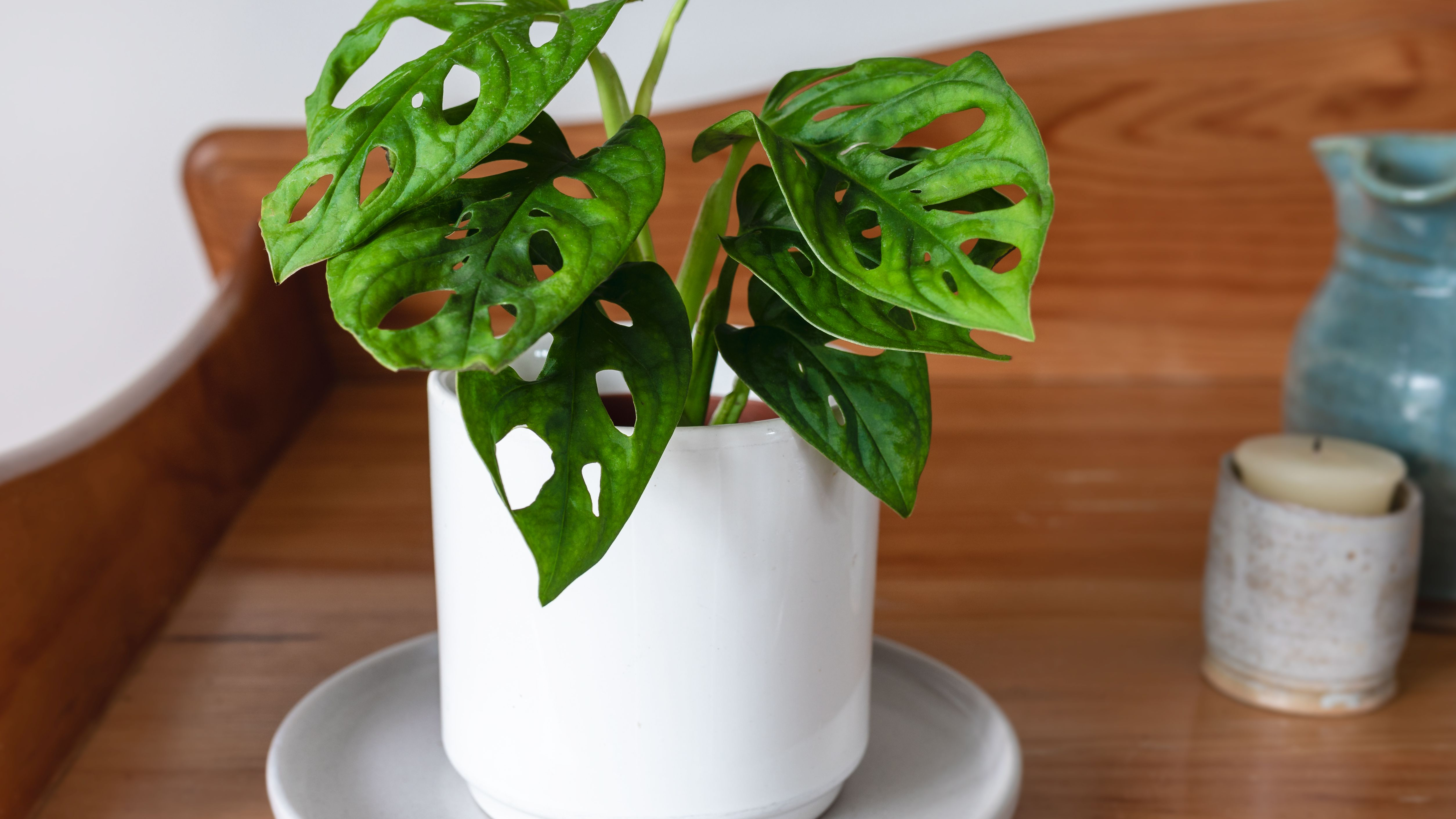 Split Leaf Philodendron Large Swiss Cheese Plant