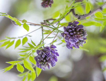 American wisteria 'amethyst falls' branches with purple-blue flower clusters surrounded by bright green pinnate leaves