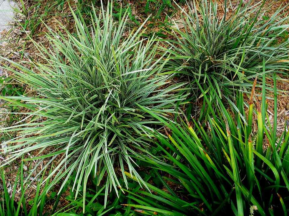 Mondo-Grass