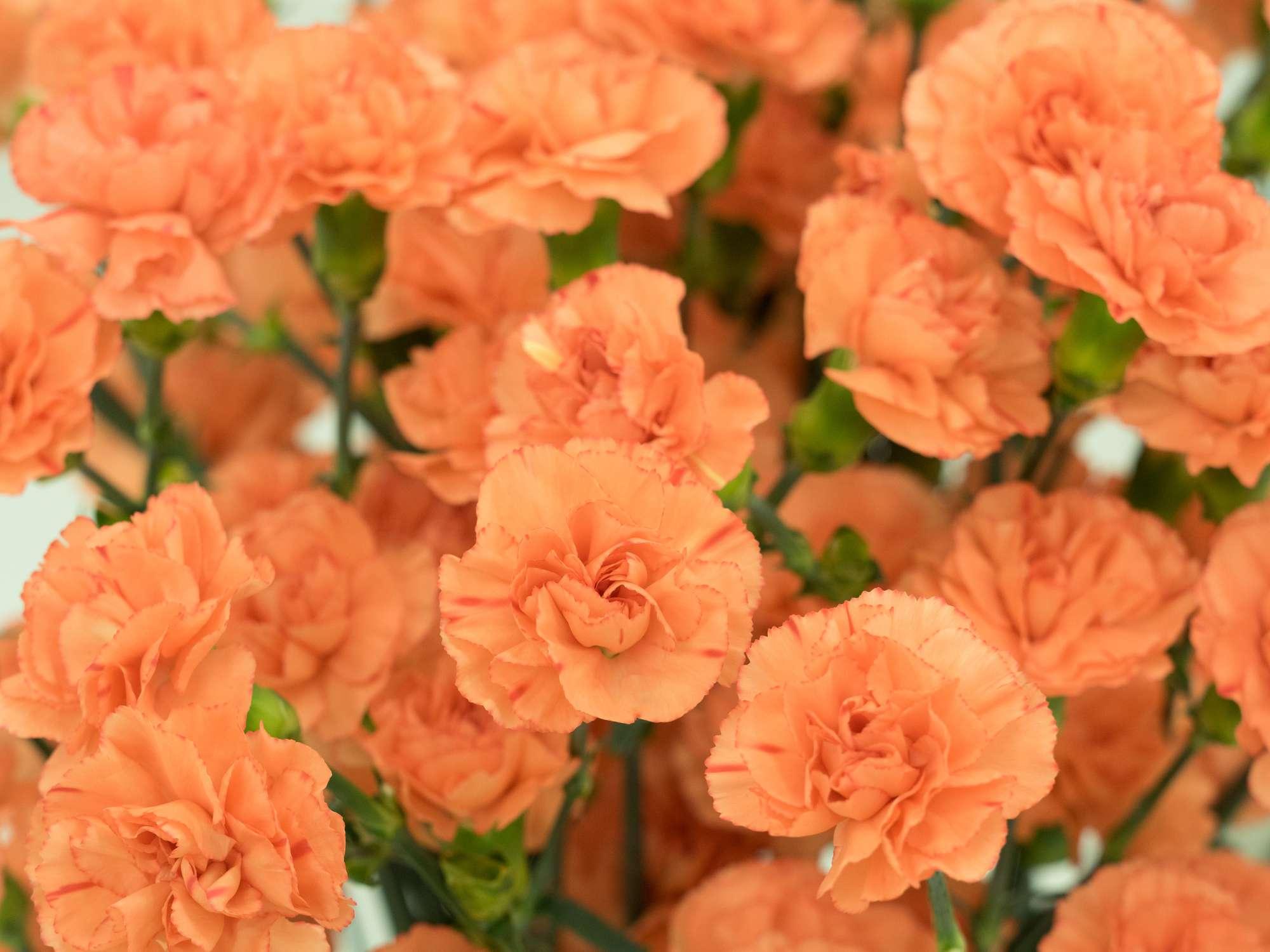 orange carnations