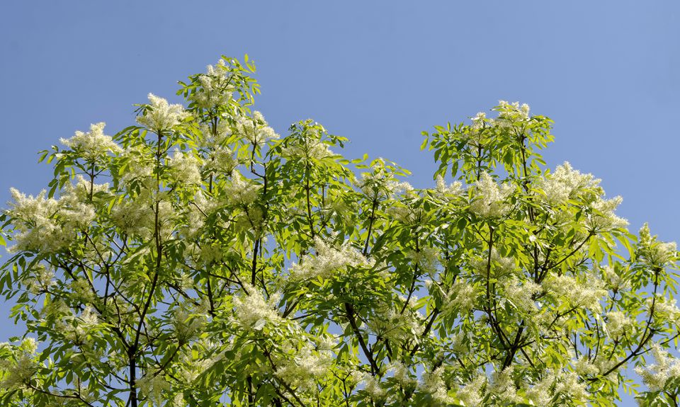 Japanese lilac tree in bloom.