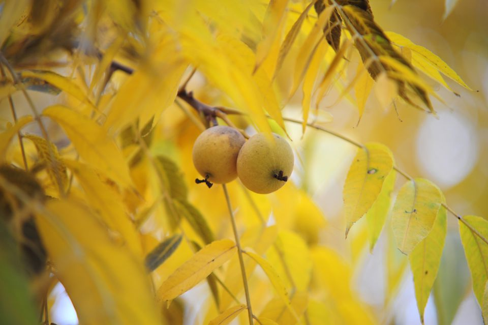 Black walnut tree branch with yellow leaves and walnut