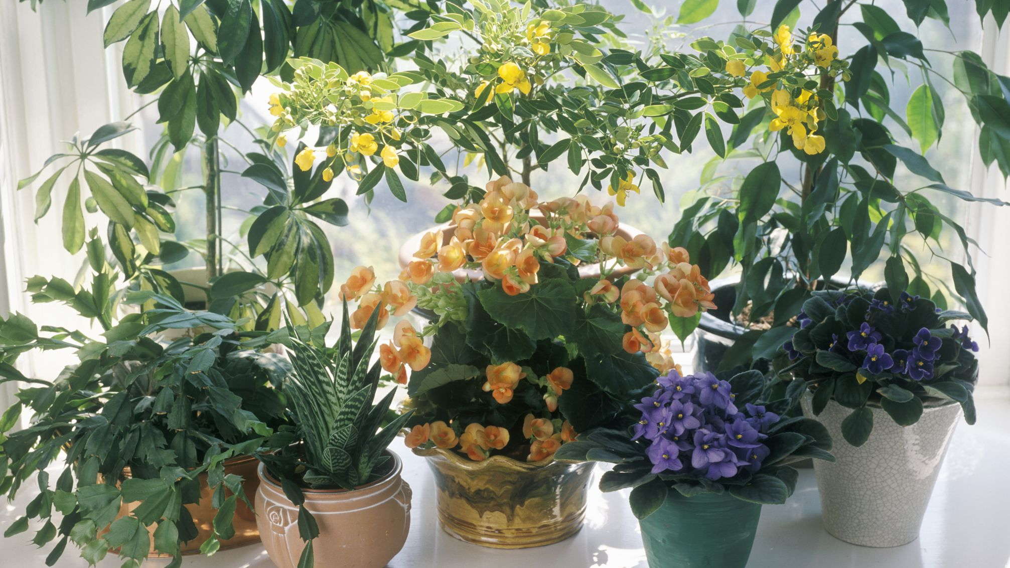 Exotic Angel Plants and How to Care for Them on evergreen identification guide, hydrangea identification guide, daylily identification guide, flower identification guide, plant identification guide, leaf identification guide, hyacinth identification guide, seed identification guide, weed identification guide, herb identification guide, succulents identification guide, orchid identification guide, white identification guide, rose identification guide, furniture identification guide, vegetable identification guide, grass identification guide, perennial identification guide, wildflower identification guide, vine identification guide,