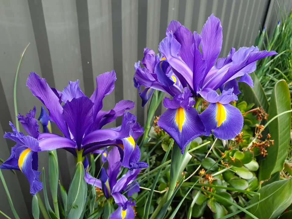 Bluish-purple Dutch iris flowers growing in front of a wall.