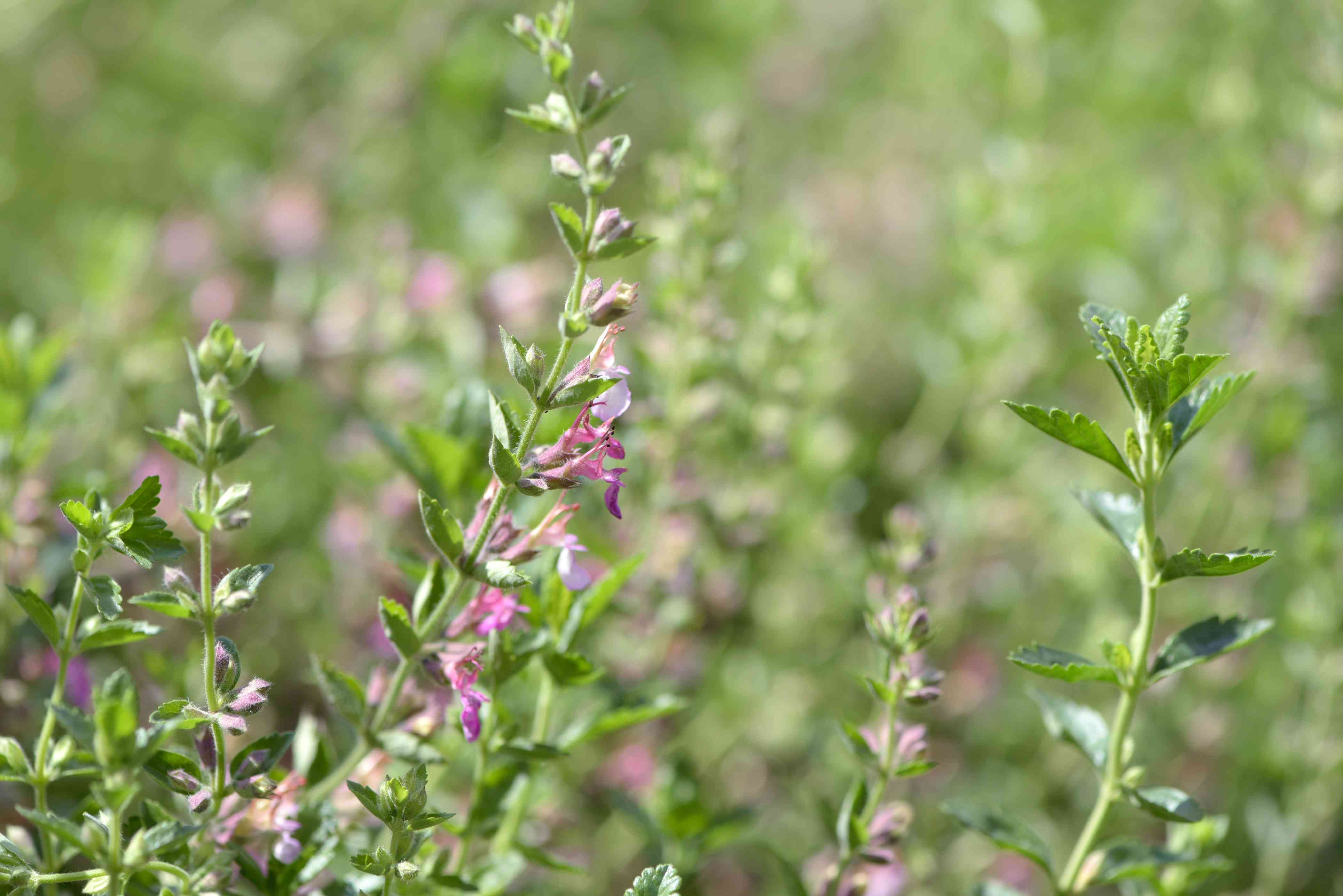 Wall germander with tooth edged leaves and light purple flowers on thin stem in sunlight