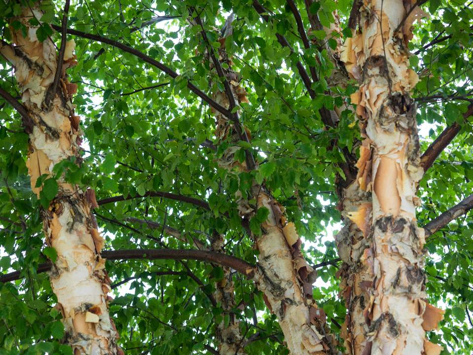 The river birch has interesting peeling bark.