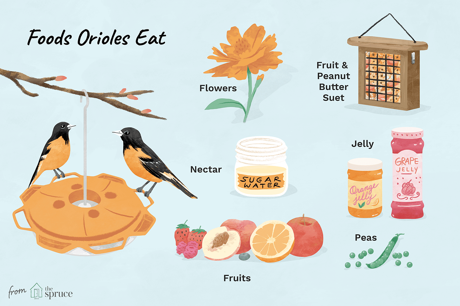Illustration of orioles and the types of foods they eat